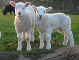 RUGBY LAMBS