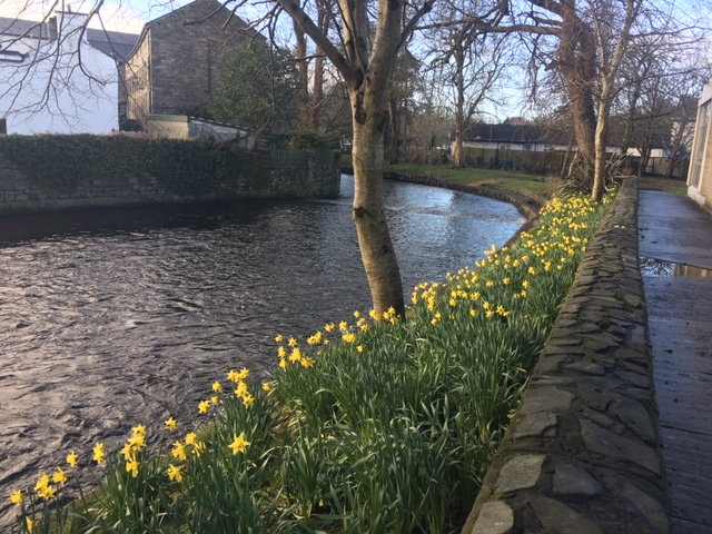 Daffodils are out in Westport