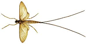 Just Gad About Like a Mayfly